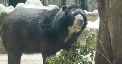 Oso Chucho se queda en el Zoo de Barranquilla, tras decisión de Corte Constitucional