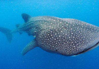 Científicos descubren que tiburón ballena tiene dientes en sus ojos