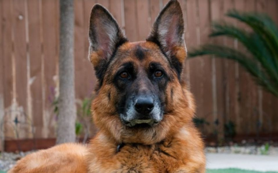 Fallece perro diagnosticado con covid-19 en EE.UU
