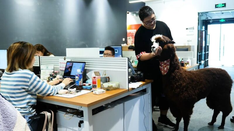 Productora 'contrata' a una alpaca