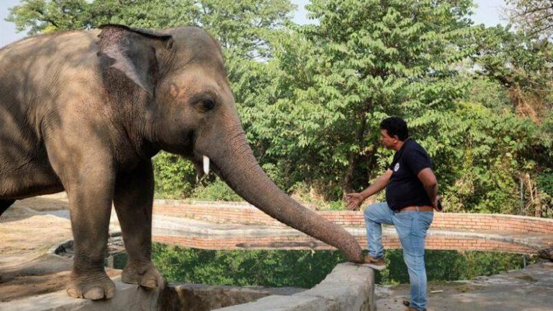 Elefante más triste del mundo recibe tratamiento con música de Frank Sinatra